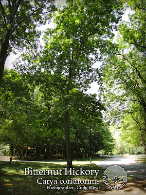 Bitternut Hickory Tree