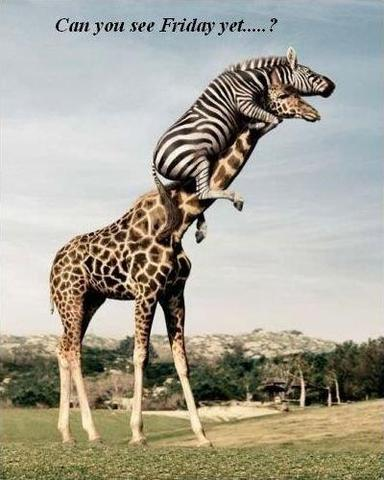 Zebra on Giraffe