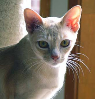 European Burmese Cat Pictures