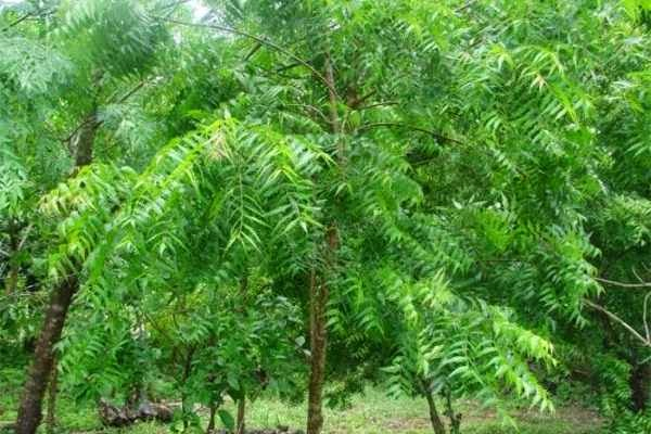 Neem Mosquito Controlling Plant
