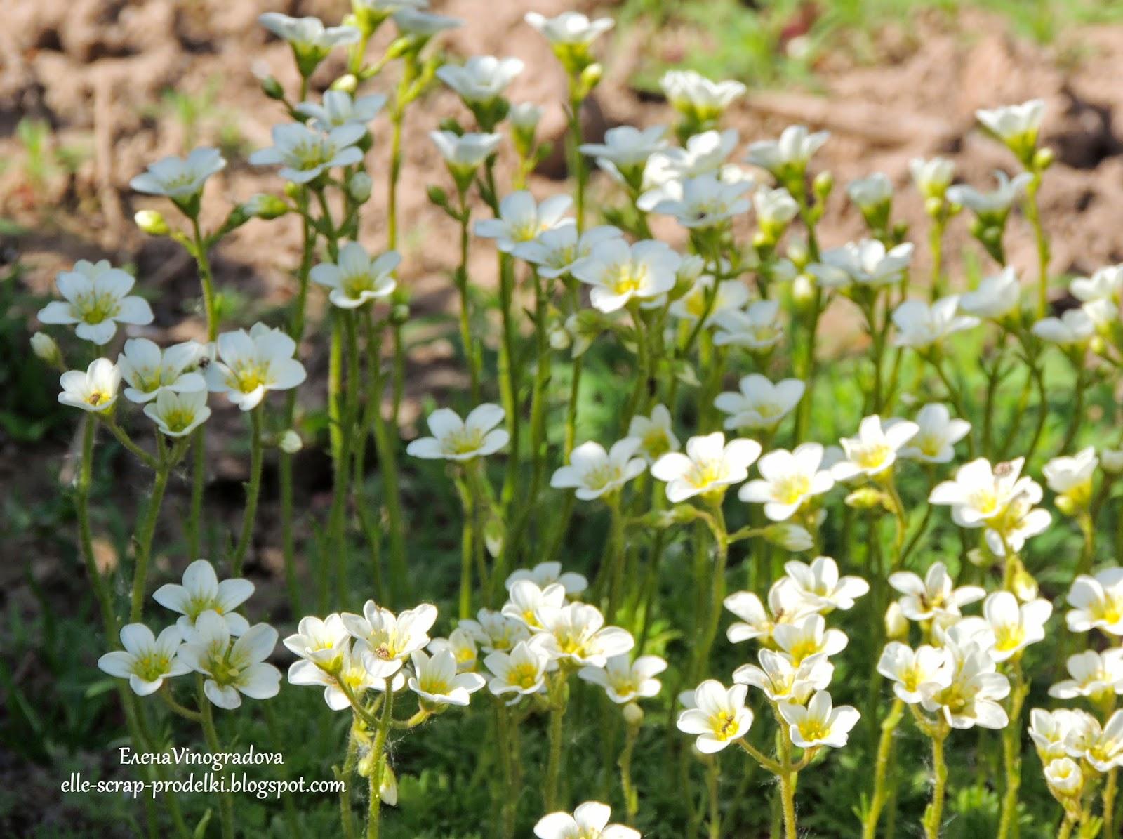 Елена Vinogradova. белые цветы