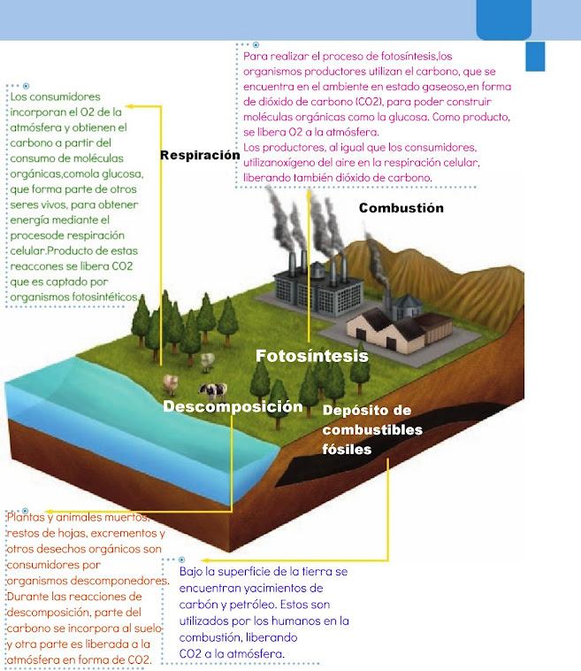 ¿Cómo circulan el carbono y el oxígeno en la naturaleza?