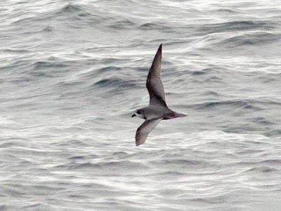 Mottled Petrel on Oregon pelagic trip