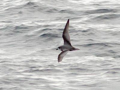 Mottled Petrel on Oregon pelagic trip