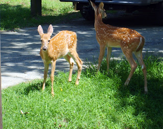 Fawns in Elk Neck State Park near North East, Maryland