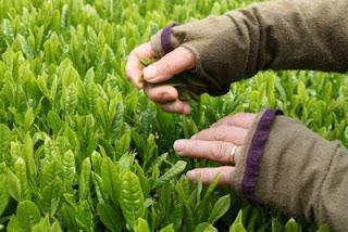 A Temomi tea artisan carefully picks first flush Japanese green tea leaves to create handmade Japanese Temomi Shincha Tea