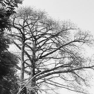 pohon randu Kebun raya