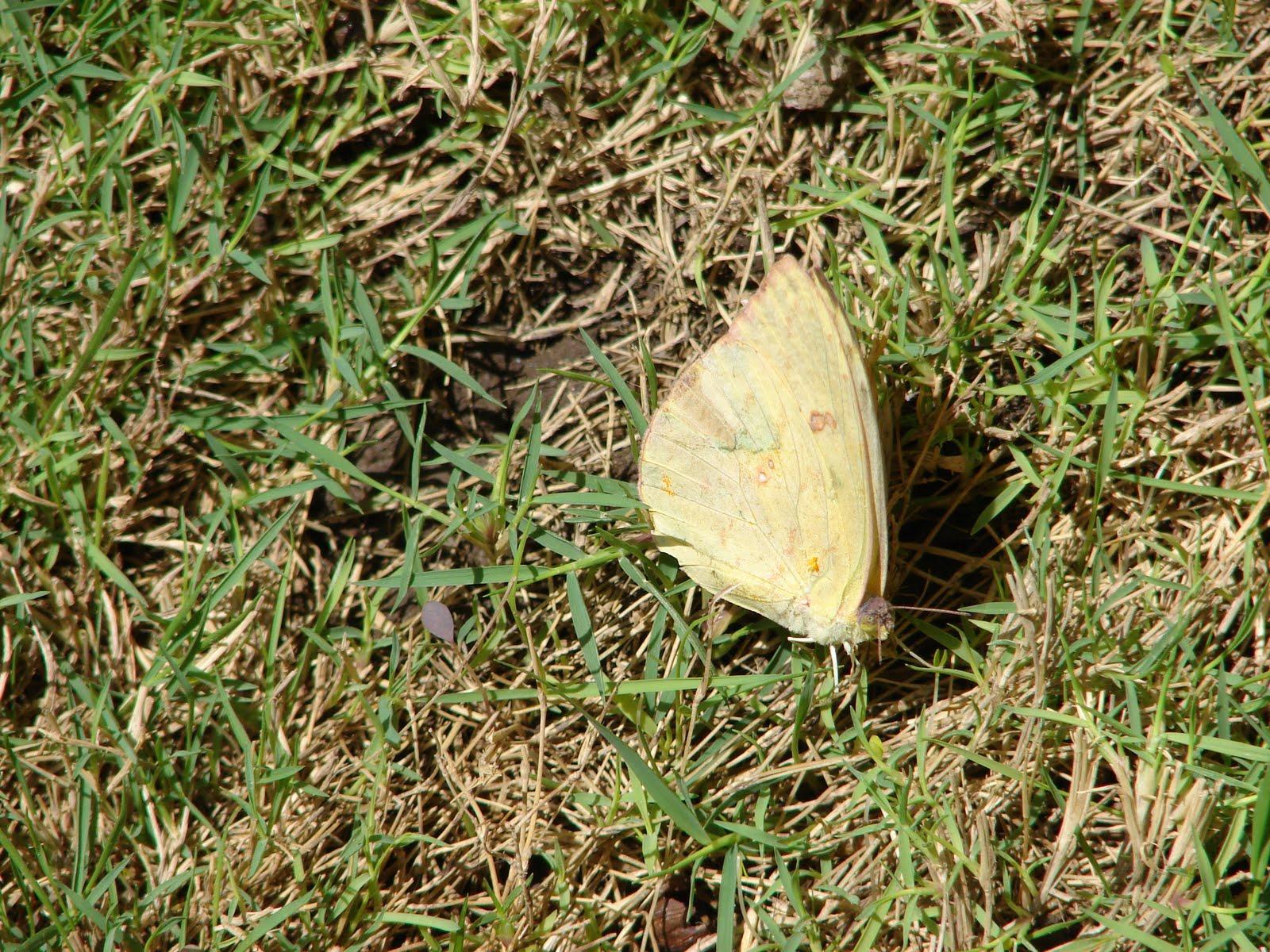 16-FEBRERO--17-18-19-20-21...2011-Mariposa Amarilla con dibujos ET,Ovni en sus ALAS sec ALIENES