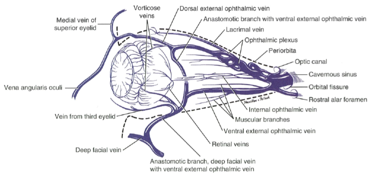 Eye opener anatomy blood supply to the eye figure 7 veins of the eye source evans he and lahunta a 2012 millers anatomy of the dog 4th edn missouri saunders elsevier ccuart Image collections