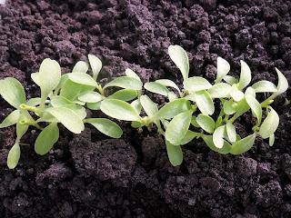 у салата появляются первые настоящие листики