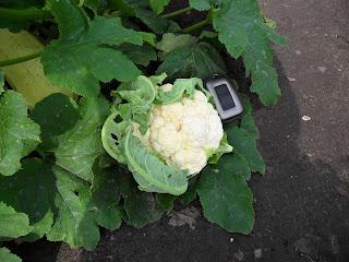 27 августа, первый кочан цветной капусты