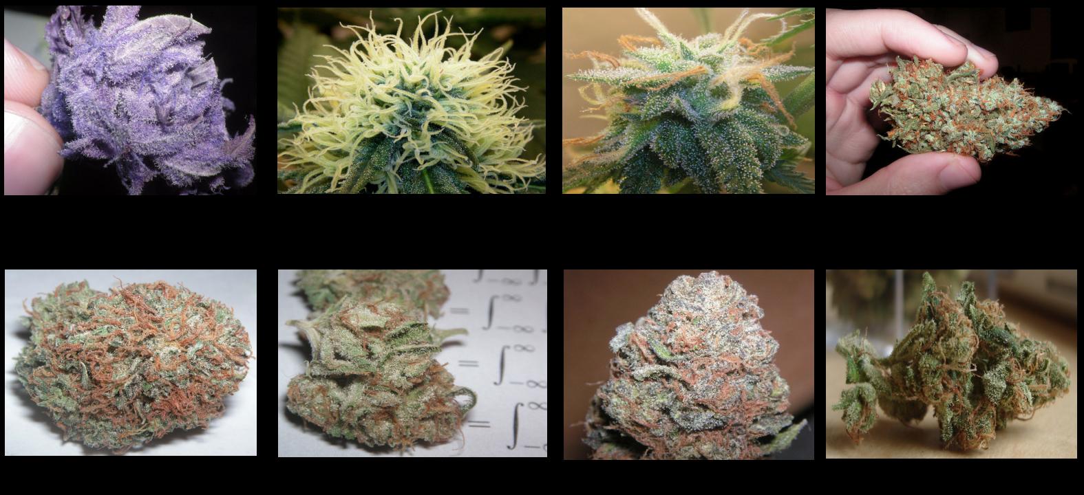 Medical+Marijuana+Sample+Photos+1.3.png (1575×720) | The Cannabis ...