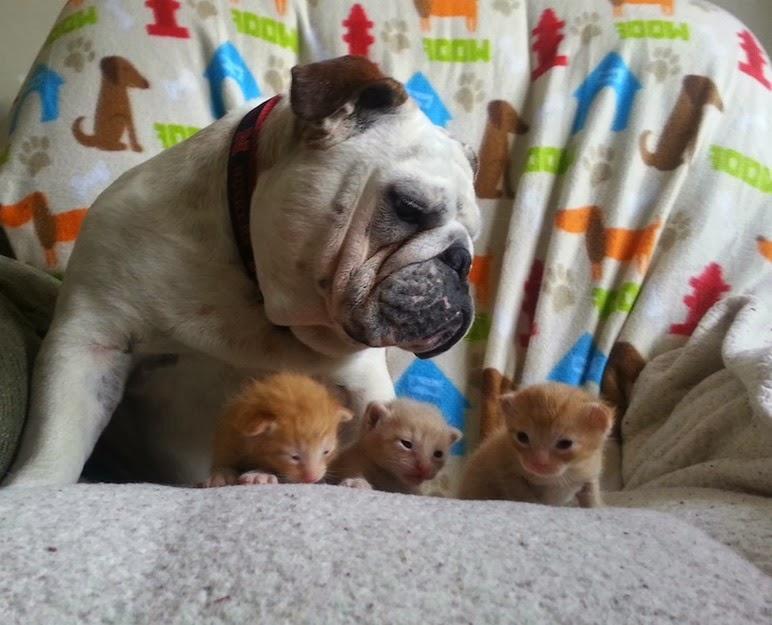 hammie bulldog