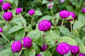Khasiat Bunga Kenop untuk Kesehatan