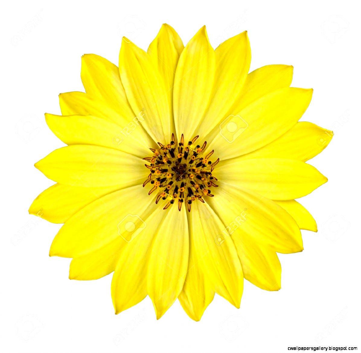 Fresh Yellow Osteospermum Daisy Flower Isolated On White