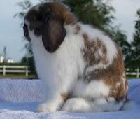 Jenis-jenis kelinci, Holland Lop