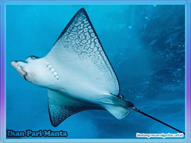 gambar ikan pari manta