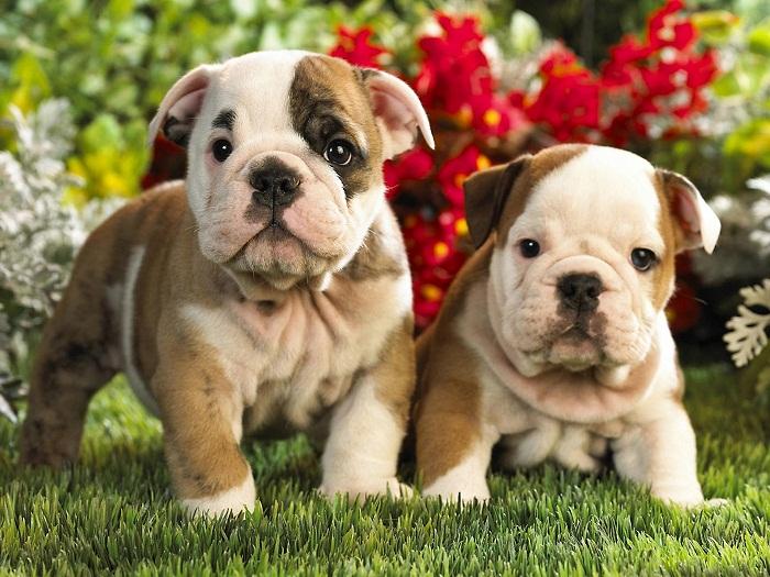 Perros Bulldog French Bulldog Cachorro Perro