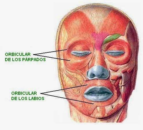 músculos orbiculares