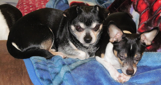 Lenny The Chihuahua, With His Son, Bear