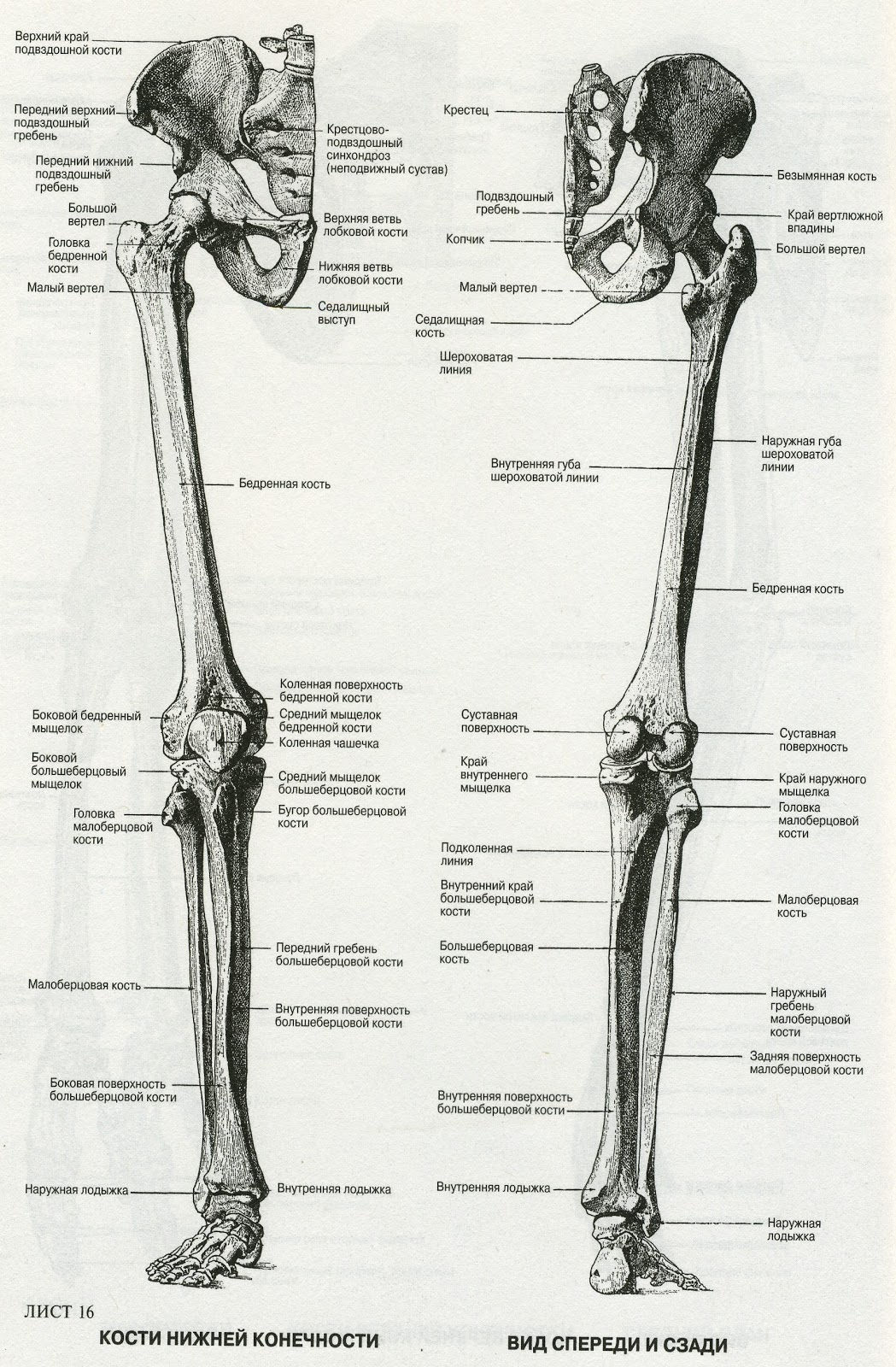 Строение стопы рисунок схема кости