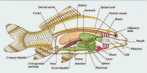Fish anatomy functions