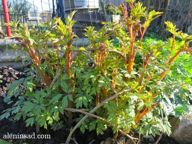 Дицентра великолепная, Lamprocapnos spectabilis, бутоны, подпорки, аленин сад, весенние цветы