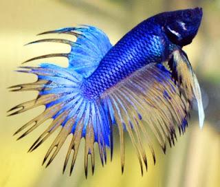 gambar ikan cupang biru tua