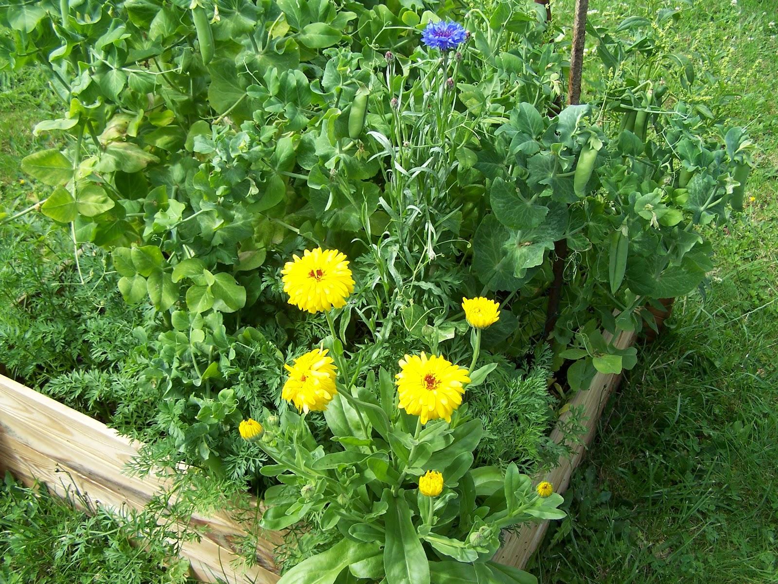 Quelques fleurs au potager