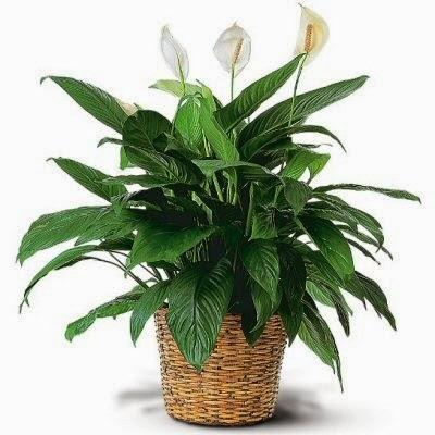 Send a Peace Lily Plant