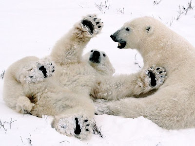 polar bear cubs love animal pictures