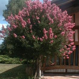 Cuidados rbol de lilas lagerstroemia indica 39 rubra - Arboles ornamentales para jardin ...