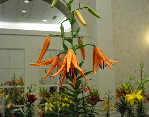 Lancifolium Lilium