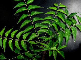 Neem ( Azadirachta Indica) Leaves