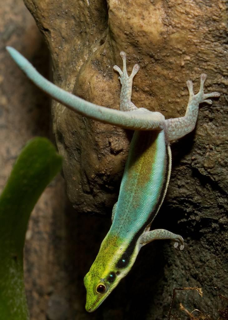 El Gecko un tipo de Lagarto
