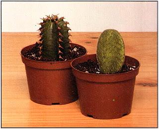 Эти два черенка были взяты от столбчатого кактуса (слева) и кактуса с плоскими «лепешками» (справа)