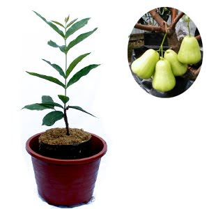 jual-bibit-jambu-air-madu.jpg