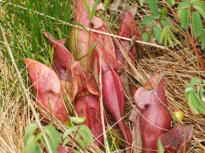 Northern Pitcher Plant (Sarracenia purpurea)