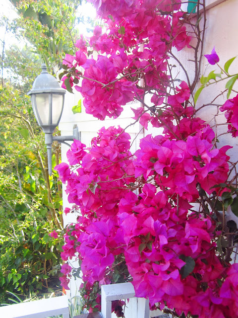 fuschia bouganvillea climbing up a white wall with a lantern