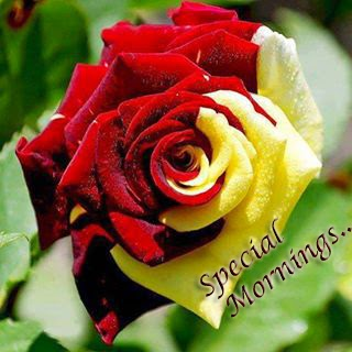 special morning rose for friends