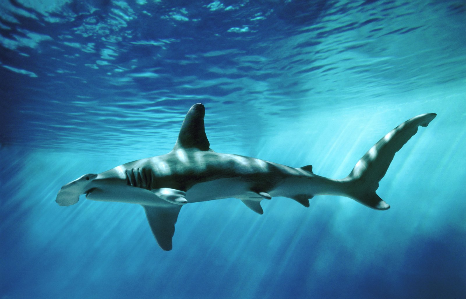 Hammerhead shark - photo#4