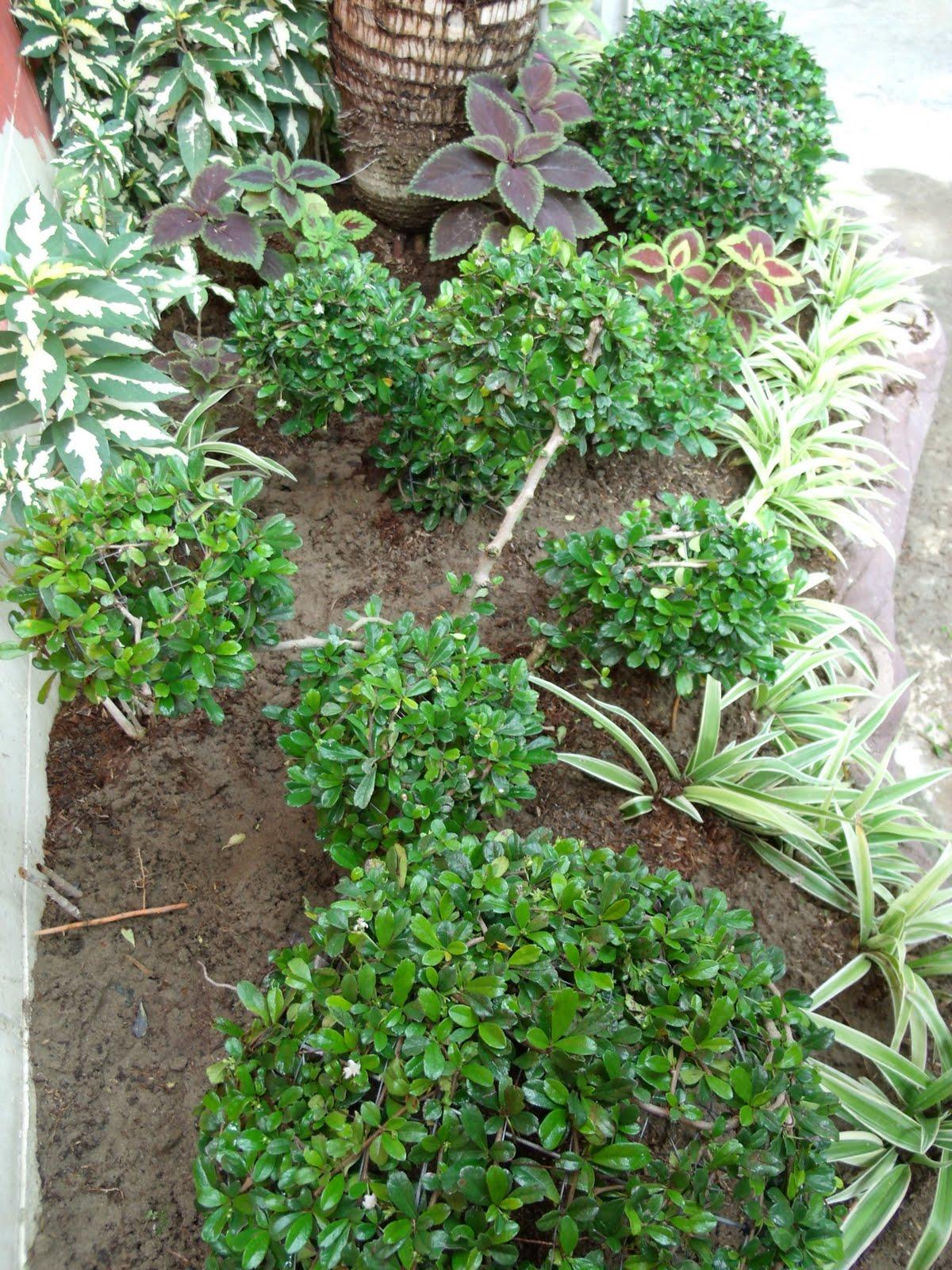 Simple Garden Thoughts My Fukien Tea Ball