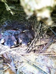 The Waterthrush chicks