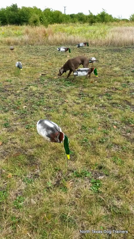 north texas duck hunts, north texas guided duck hunting, texas duck hunting