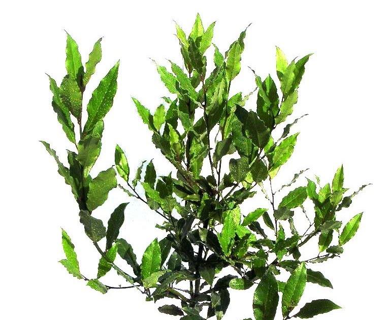 Plante exotice dafin 5 ani 70 cm for Plante 70 cm