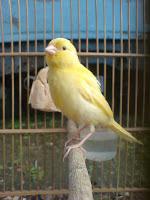 Burung Kenari - Solusi Penangkaran Burung Kenari -  Kode Ring Kenari Import Pada Negara Turki
