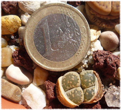 lithops