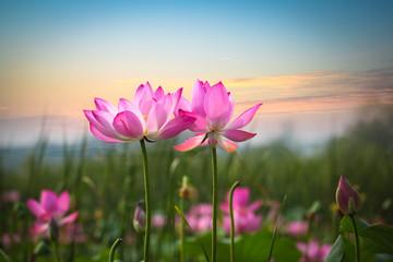 Du Lymphome au Lotus
