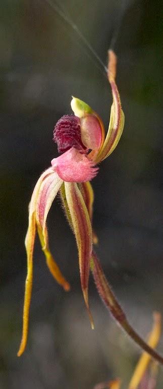 Stumpy Spider Orchid (Caladenia ensata)