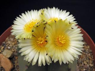 Jardineria, Catalogo de Plantas: Astrophytum myriostigma